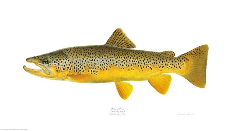 Brown Trout. Joseph Tomelleri.